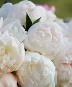 Peony Collections